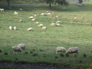 羊の群れです。