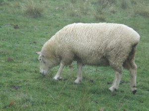 羊が草を食んでいる様子です。
